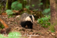 das_-_european_badger_-_meles_meles_female__20150625_1697056031
