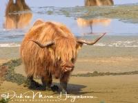 schotse_hooglander_highland_cattle_20141220_1561038439