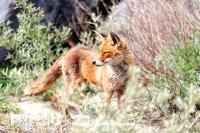 vos_red_fox_vulpes_vulpes1_20141220_1336375049