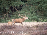 edelhert_red_deer_cervus_elaphus8_20141220_1207754311