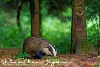 das_-_european_badger_-_meles_meles_20150625_1598770703