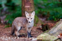 jonge_vos_-_young_red_fox_-_vulpes_vulpes_20150625_1974941201