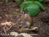 bosmuis_-_wood_mouse_-_apodemus_sylvaticus_20150625_1207562854
