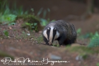 das_-_european_badger_-_meles_meles_20150625_2003791805