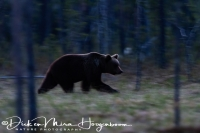 Bruine Beer-Brown Bear- Braunbär-Ursus arctos 2