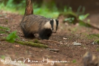das_-_european_badger_-_meles_meles_20150625_1108766648