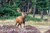 edelhert_red_deer_cervus_elaphus_3_20141220_1252666960