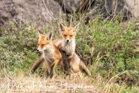 vos_red_fox_vulpes_vulpes_3_20141220_1621009474