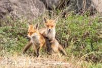 vos_red_fox_vulpes_vulpes_3_20141220_1621009474