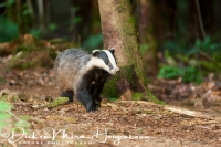 das_-_european_badger_-_meles_meles_female_20150625_1385875900