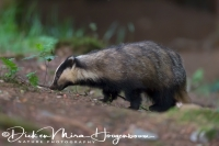 das_-_european_badger_-_meles_meles_female__20150625_1745967759