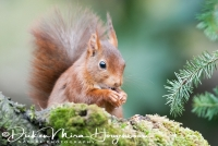 eekhoorn_eurasian_red_squirrel_sciurus_vulgaris_20141220_1624194976