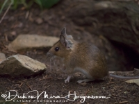 bosmuis_-_wood_mouse_-_apodemus_sylvaticus_20150625_1551534719