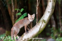 jonge_vos_-_young_red_fox_-_vulpes_vulpes_20150625_1782169863