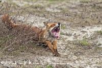 vos_red_fox_vulpes_vulpes_20141220_1687080078