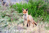 vos_red_fox_vulpes_vulpes_2_20141220_2077352731