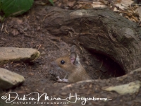 bosmuis_-_wood_mouse_-_apodemus_sylvaticus_20150625_1796588798