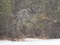 dode_boom_in_sneeuwstorm-dead_tree_in_blizzard-tote_baum_im_schnee_sturm_20160501_1890258400