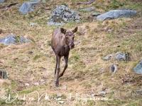 eland-moose-elch-alces_alces_20160501_1892670091