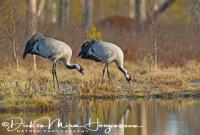 kraanvogel_etend-common_crane-kranich-grus_grus_20160501_1395077838