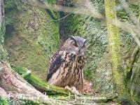 oehoe-eagle_owl-uhu-bubo_bubo-captive_20160501_1268021223