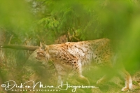 lynx-lynx-luchs-lynx-captive__20160501_1076081149