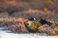 korhoen_loopt-black_grouse-birkhuhn-tetrao_tetrix_20160501_1408578523
