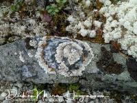 korstmos-lichen-flechte-lichenen1_20160501_1698829019