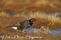 korhoen_jong-black_grouse-birkhuhn-tetrao_tetrix_20160501_1062394260