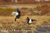 korhoen_baltz-black_grouse-birkhuhn-tetrao_tetrix_20160501_2043081657