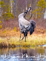 kraanvogel_dans-common_crane-kranich-grus_grus_20160501_1323835303