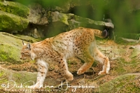 lynx-lynx-luchs-lynx-captive__20160501_1356815618
