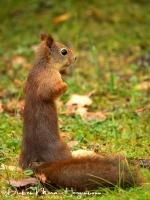 eekhoorn_-_red_squirrel_-_eichhoernchen_-_sciurus_vulgaris_allert_mira_20171015_1852905443