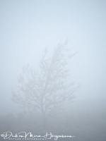 berk_in_mist_-_birch_in_fog_-_birke_im_nebel_20171015_1476634138