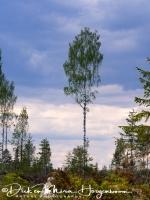 berk_in_landschap-birch_in_landscape-birke_in_landschaft_20180625_1957203904