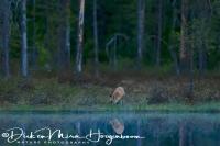 vos-red_fox-fuchs-vulpes_vulpes_20180625_1766869372