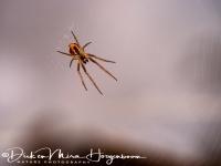 kruisspin-spider-webspinnen-arachnida_20180625_1173427006