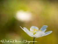 bosannemoon-wood_anemone-buschwindroeschen-anemone_nemorosa_20180625_1200456235