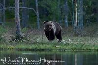 bruine_beer-brown_bear-_braunbaer-ursus_arctos_3_20180625_1209591790