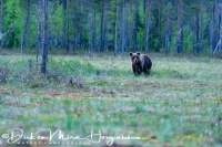 bruine_beer-brown_bear-_braunbaer-ursus_arctos_4_20180625_1010651835