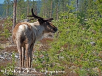 rendier-reindeer-ren-rangifer_tarandus_3_20180625_1703379548