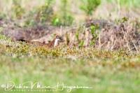 hermelijn-stoat-hermelin-mustela_erminea_20180625_1670543214