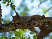 eekhoorn-red_squirrel-eichhoernchen-sciurus_vulgaris_2_20180625_1017488732