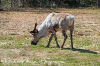 rendier-reindeer-ren-rangifer_tarandus_1_20180625_1107293207