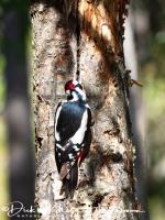 grote_bonte_specht-great_spotted_woodpecker-_buntspecht-dendrocopos_major_1_20180625_1690122834