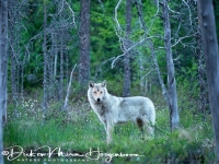wolf-wolf-gray_wolf-canis_turdus_4_20180625_1234220635