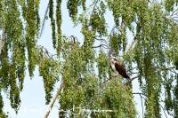 visarend-osprey-fischadler-pandion_haliaetus_20180625_1567510705