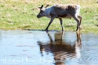 rendier-reindeer-ren-rangifer_tarandus_2_20180625_1471004128