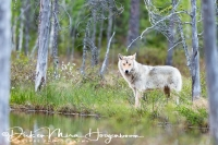 wolf-wolf-gray_wolf-canis_turdus_3_20180625_1692807393