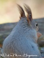 eekhoorn-red_squirrel-eichhoernchen-sciurus_vulgaris_1_20180625_1231265179